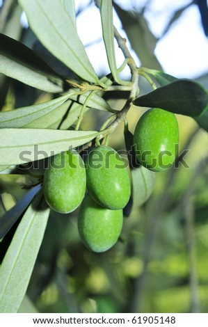 closeup of an olive tree branch before harvesting #61905148