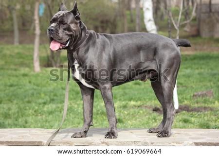 dog cane Corso walking #619069664