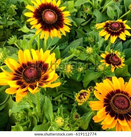 Sunflowers  #619112774