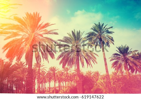 Row of tropical palm trees against sunset sky. Silhouette of tall palm trees. Tropical evening landscape. Gradient color
