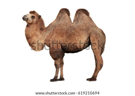 camel on a white background Royalty-Free Stock Photo #619210694