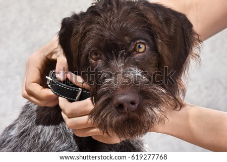 hands putting on collar on the dog #619277768