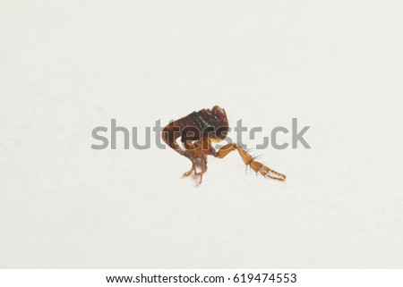 Dog flea on a close up picture with white background. A common European parasite attacking mostly dogs.