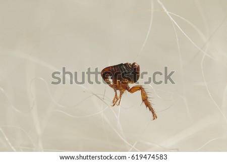 Dog flea walking in a dogs fur. A common European parasite attacking mostly dogs on a close up picture.