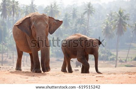 Family of Indian elephants Royalty-Free Stock Photo #619515242