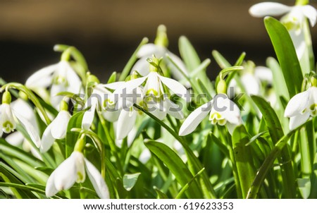 Galanthus, or snowdrop early spring in the woods #619623353
