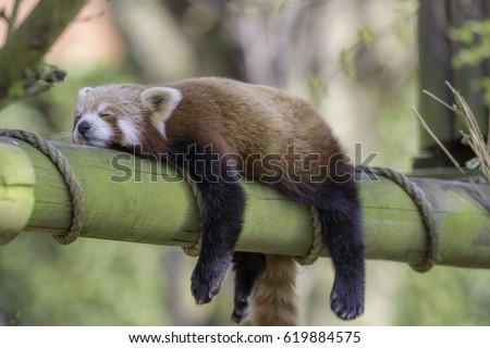 Sleeping Red Panda (Ailurus fulgens). Funny cute animal image of a red panda asleep during afternoon siesta. #619884575
