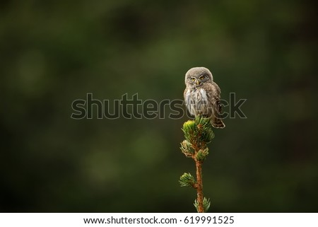 The smallest owl in Europe. It occurs mainly in northern Europe. Also in the mountainous areas of central and southern Europe.