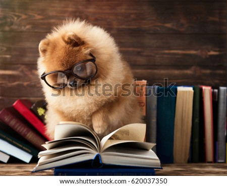 Clever pomeranian dog with a book. A dog sheltered in a blanket with a book. Serious dog with glasses. Dog in a library