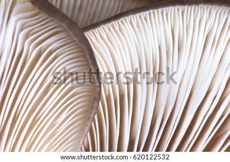 Close-up abstract background of oyster mushrooms texture. Selective focus. #620122532