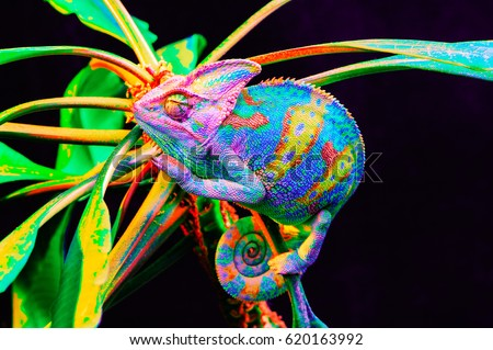 Yemen chameleon isolated on black large background.Lizard on the green leaves.skin has a bright color #620163992
