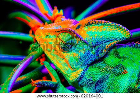 Yemen chameleon isolated on black large background.Lizard on the green leaves.skin has a bright color #620164001