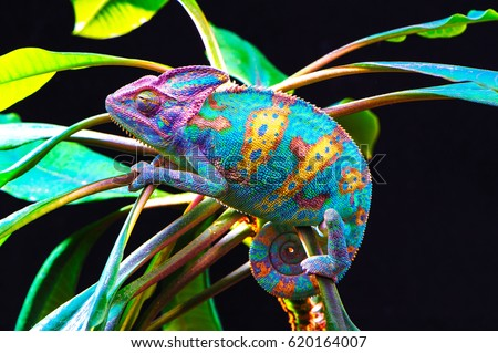 Yemen chameleon isolated on black large background.Lizard on the green leaves.skin has a bright color #620164007