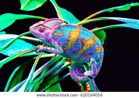 Yemen chameleon isolated on black large background.Lizard on the green leaves.skin has a bright color #620164016