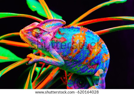 Yemen chameleon isolated on black large background.Lizard on the green leaves.skin has a bright color #620164028