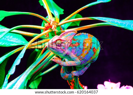 Yemen chameleon isolated on black large background.Lizard on the green leaves.skin has a bright color #620164037