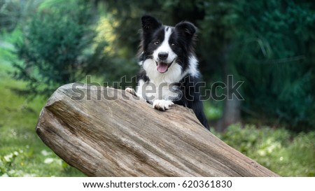 Cute black & white border collie in forest #620361830