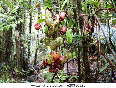 Tropical pitcher plant, Nepenthes ampullaria, also known as monkey cup is a carnivorous plant in the Nepenthaceae family. #620380325