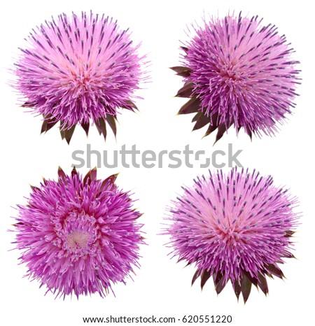 Milk Thistle flower (Silybum marianum) isolated #620551220