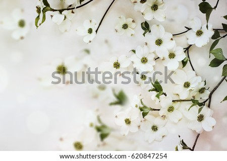 Flowering dogwood spring blossoms against a soft textured background.