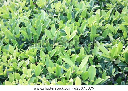 green leaf  #620875379
