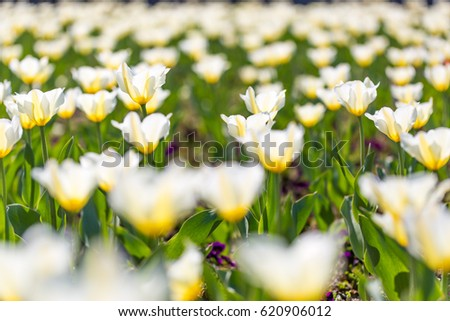 Amazing summer nature flowers, white tulips in sunlight landscape. Natural view spring  blooming in green meadow background.