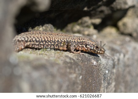 Walllizard with orange skin. #621026687