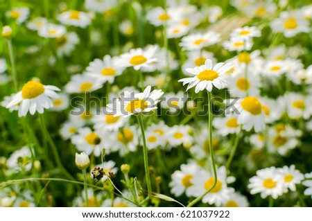 Wild chamomile flowers on a field #621037922