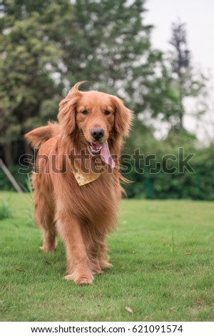 The Golden Retriever in the outdoor on the grass #621091574