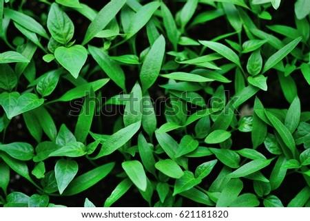 bell pepper seedlings #621181820