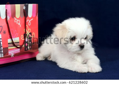 Portrait of a cute white long-haired Maltese girl with shopping bag on a blue background. The puppy is 2 months old on the picture.