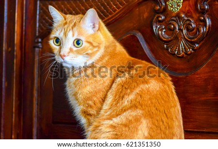 Domestic red ginger cat. Red ginger cat #621351350