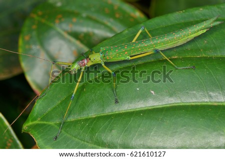 beautiful stick insect found in the forest of Borneo #621610127