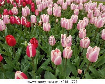 Tulips garden  #621611777