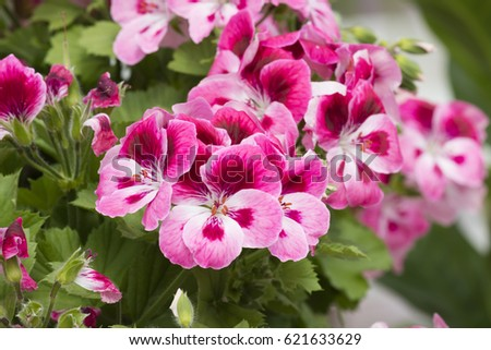 pink geranium in bloom in spring #621633629