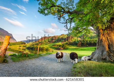 Curious sheeps on pasture in summer, Lake District, England Royalty-Free Stock Photo #621658301