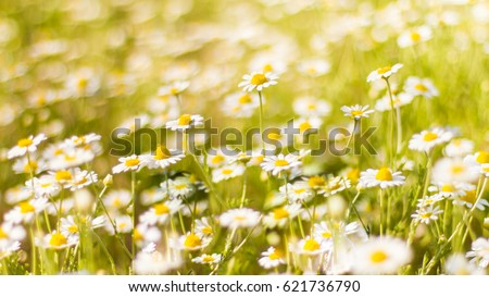Beautiful field of daisy flowers in spring. Blurred abstract summer meadow with bright blossoms