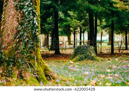 Many crocuses in the grass under the tree. A field of crocuses in the urban park of Cetinje, Montenegro. #622005428