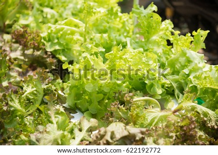 Green Oak salad plant, hydroponic vegetable leaves #622192772