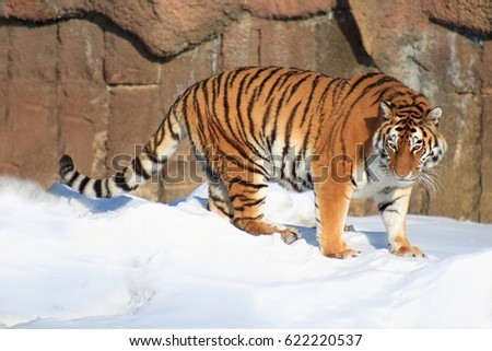 Beautiful siberian tiger on a morning walk. Animals in wildlife. #622220537