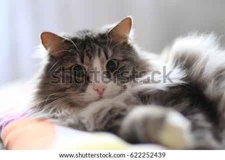 Surprised furry cat #622252439