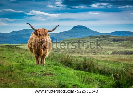 Grazing highland cow in Isle of Skye in Scotland #622531343