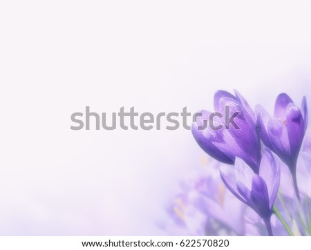 Fresh background with copyspace for your design. First spring flowers covered with dew. Purple crocuses growing in the mountains. Macro image with small depth of field.