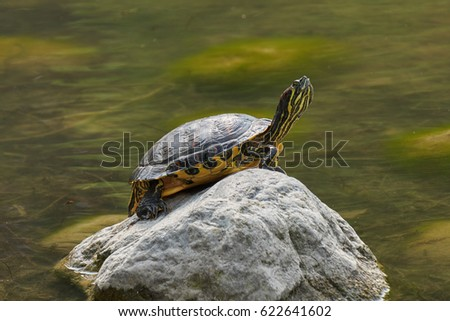 turtle rest on rock at sun on pond #622641602