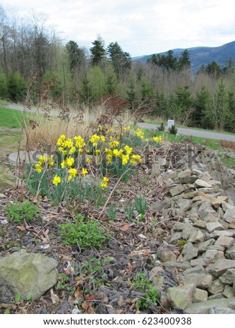 Garden of yellow daffodils (Narcissus pseudonarcissus) blooming in the mountains #623400938