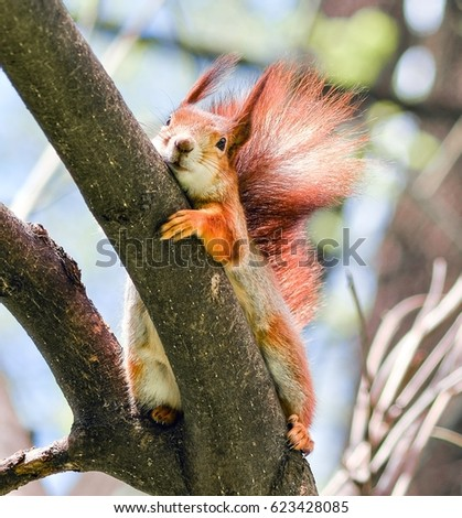 Curious fluffy red squirrel peeking behind the tree trunk. The red squirrel or Eurasian red squirrel is a species of tree squirrel in the genus Sciurus common throughout Eurasia. #623428085