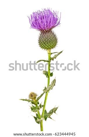 Milk Thistle plant (Silybum marianum) herbal remedy. Scotch thistle, Cardus marianus, Saint Mary's Thistle. #623444945