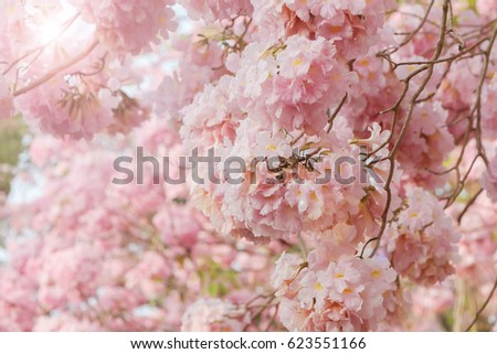 Blooming Pink trumpet tree flowers with sunlight flare  #623551166