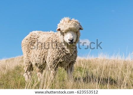closeup of merino sheep against blue sky  #623553512