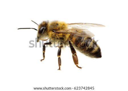 Bee isolated on the white #623742845